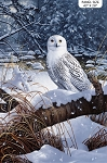 Snowy Owl DP23518 49 Naturescapes Owl Digital Panel, Northcott